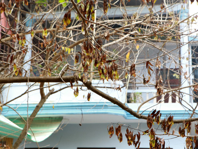 Vụ hàng sưa nghi bị đầu độc: Người dân ngửi thấy mùi hóa chất ở gốc cây - Ảnh 5.