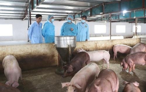 Hà Nội - Tiêu diệt ổ dịch tả lợn châu Phi với 145.467 lít hóa chất