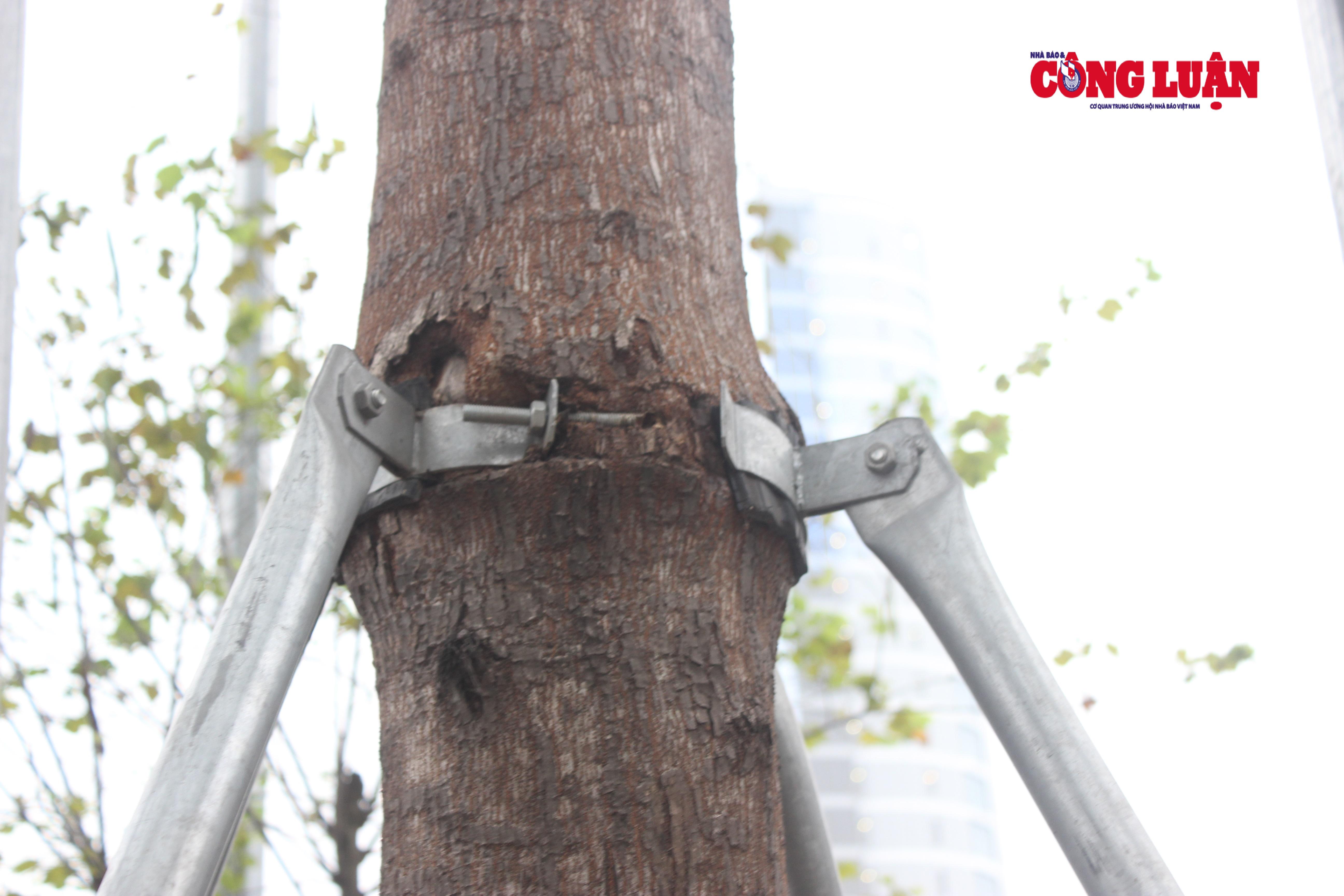 Vòng đai sắt không được tháo ra, cứa sâu vào thân cây tạo thành những vết thương lớn