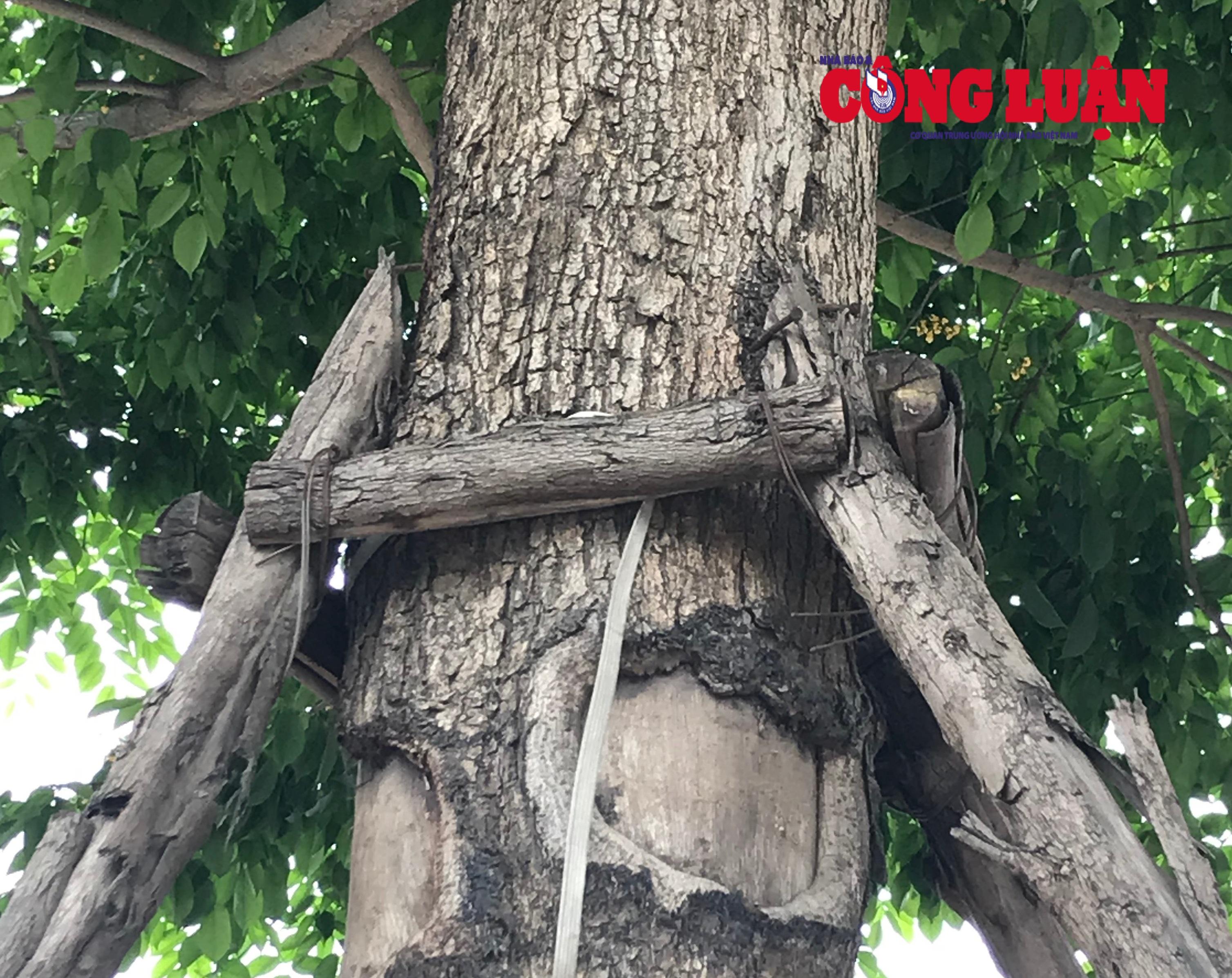 Cây xanh trên đường Võ Chí Công bị đóng rất nhiều đinh vào thân