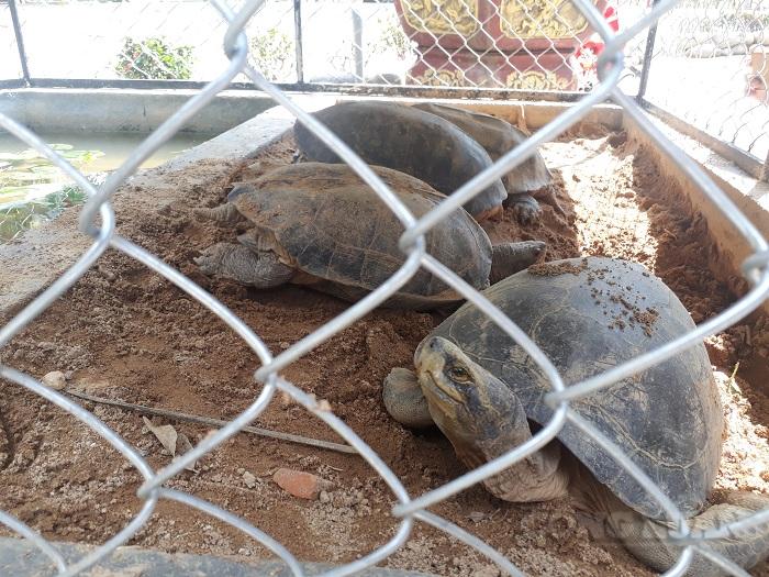 Rùa Răng là loài động vật quý hiếm có tên trong Sách đỏ, cấm săn bắt, mua bán với mọi hình thức. (Ảnh: H.T)