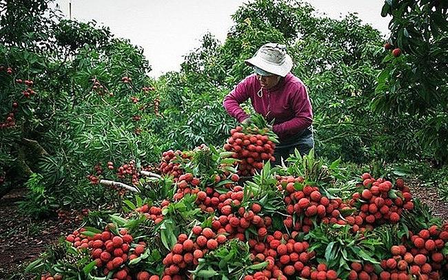 Vải thiều Lục Ngạn được cấp mã số vùng trồng và tem xuất khẩu