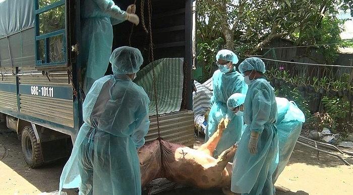 6 tỉnh miền Tây xuất hiện dịch tả lợn châu Phi