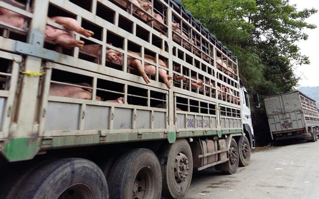Cơ quan chức năng tỉnh Quảng Nam đã tạm giữ một xe tải chở lợn từ tỉnh Bắc Ninh bị mắc bệnh dịch tả Châu Phi. (Ảnh TL)