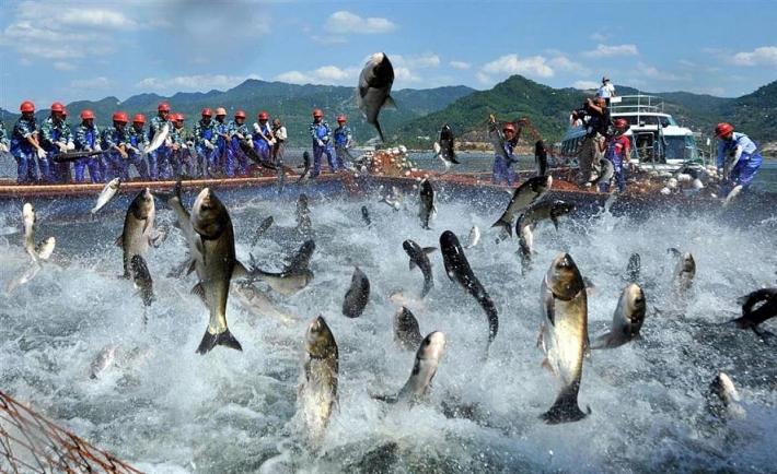 """Nga - Thị trường """"thất thường"""" với cá tra Việt Nam"""