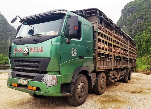 Thanh Hóa: Bắt giữ, tiêu hủy 160 con lợn nghi nhiễm dịch tả châu Phi