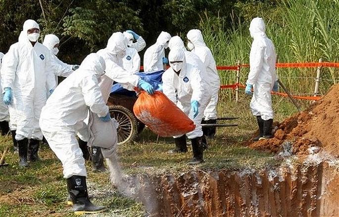 Hà Nội tiêu hủy gần 18% tổng đàn lợn vì bệnh dịch tả lợn châu Phi