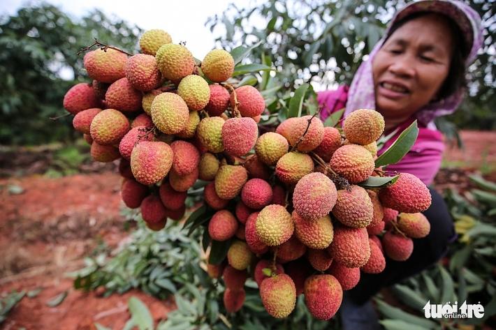 Sản lượng quả vải Việt Nam đứng thứ 3 thế giới