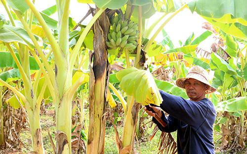 Gia Lai: Chuyển đổi cây trồng để ứng phó với hạn hán khắc nghiệt