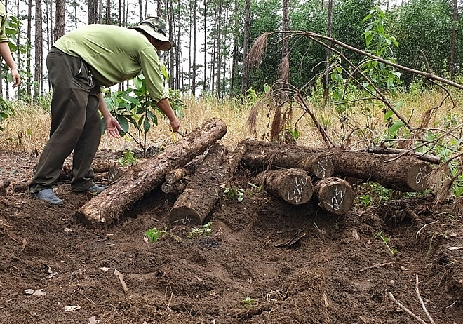 Lâm Đồng: Khai quật được hàng trăm lóng gỗ thông dưới lòng đất