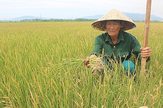 Quảng Nam: Hàng nghìn ha lúa khô cháy vì nắng nóng