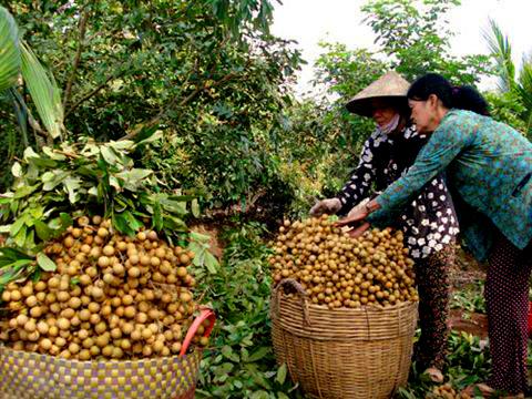 Năm 2019: Sản lượng nhãn Hưng Yên giảm khoảng 20%