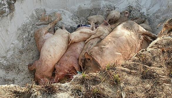 Quảng Nam: Người dân bức xúc khi bị thu tiền tiêu hủy lợn bệnh