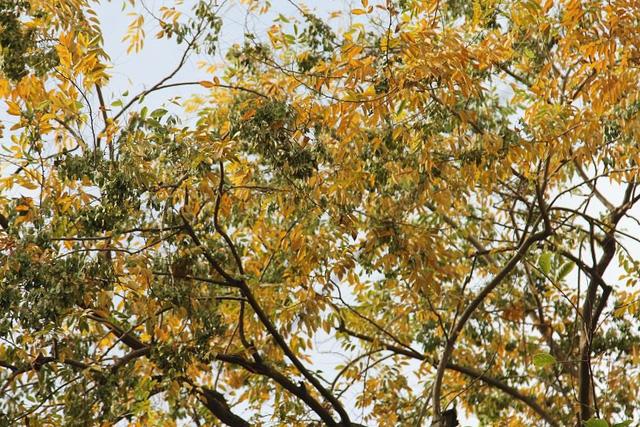Hà Nội: Hàng sưa cổ thụ bất ngờ rụng lá, nghi bị đầu độc - Ảnh 1.