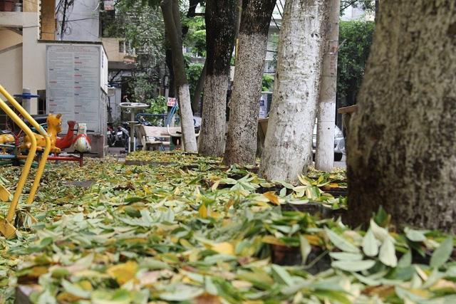 Hà Nội: Hàng sưa cổ thụ hàng chục năm tuổi bỗng nhiên rụng lá bất thường