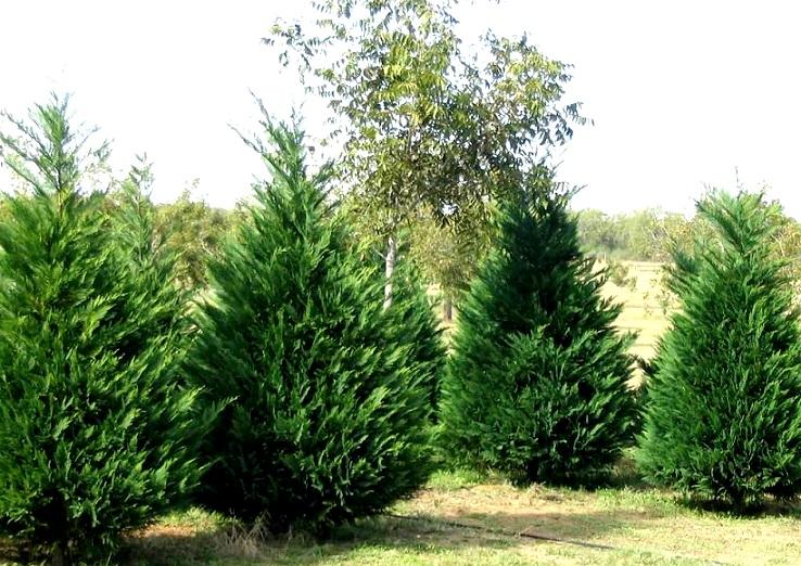 Những loại cây giúp xua đuổi tà khí trong vườn nhà