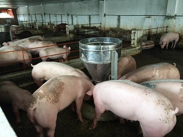 Xử phạt tối đa 100 triệu đồng với hành vi dùng chất cấm trong chăn nuôi
