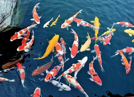 Cá Koi Nhật được nhà giàu Việt 'nâng niu' có sống nổi trên sông Tô Lịch?