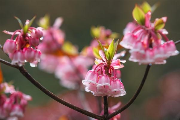 Đẹp ngẩn ngơ hoa đào chuông trên đỉnh Bà Nà