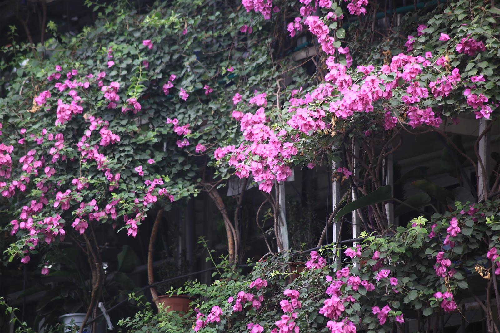 Cận cảnh ngôi nhà 5 tầng phủ kín hoa giấy giữa Hà Nội khiến nhiều người mê mẩn