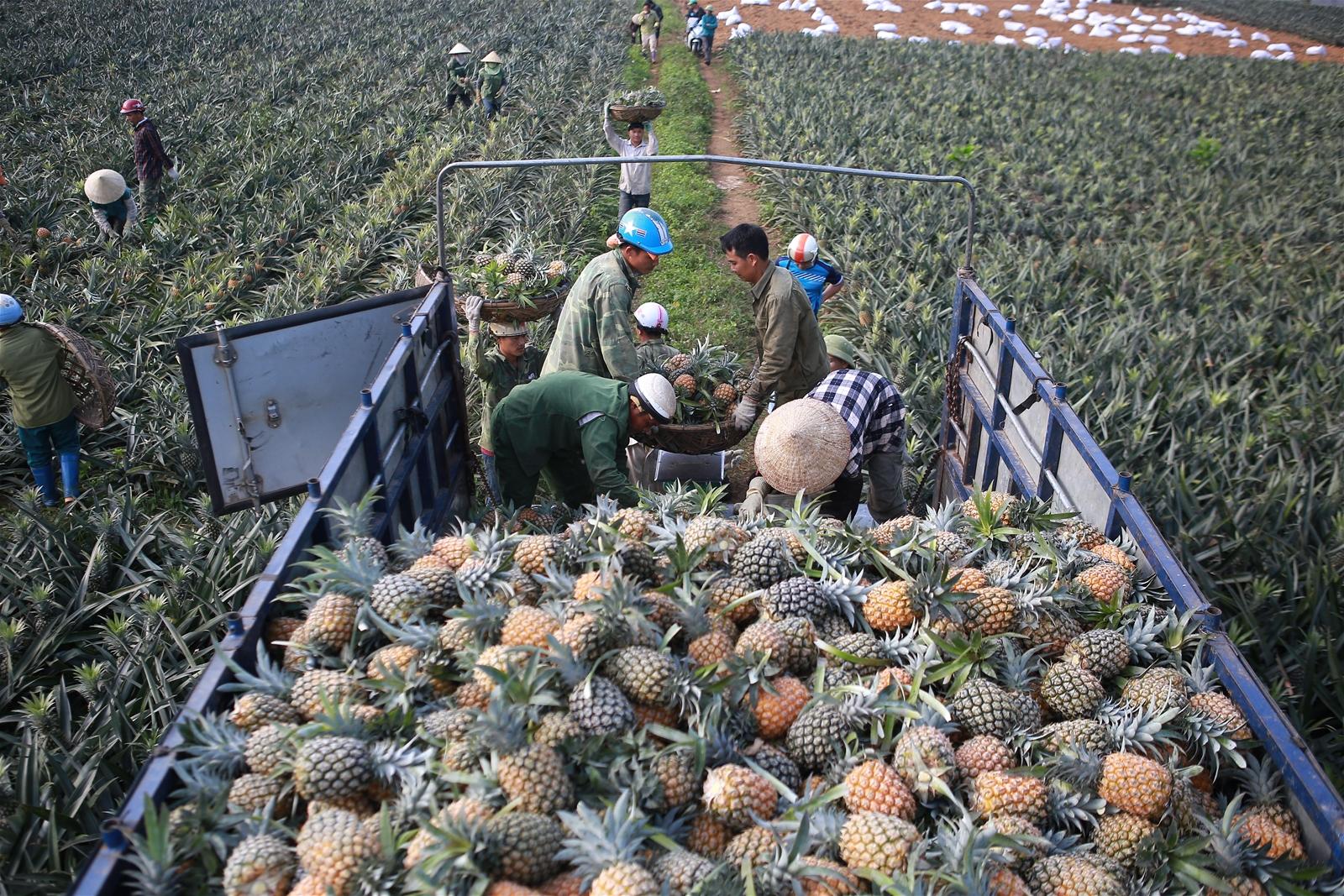 Mục sở thị vựa thu hoạch dứa nổi tiếng nhất xứ Thanh