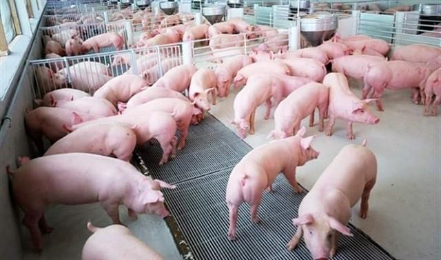Người chăn nuôi e dè tái đàn lợn vì dịch chồng dịch