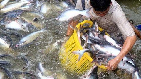 """Mừng hay lo khi """"mâm cơm người Việt"""" lại có cá tra"""