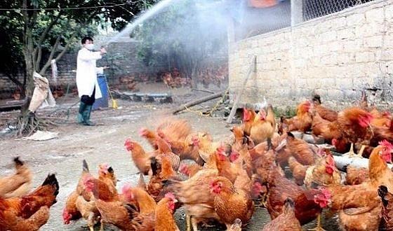Tiêu hủy trên 43.200 con gia cầm do dịch cúm A/H5N6