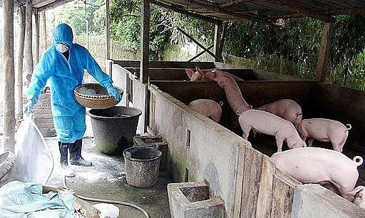 Hà Nội hết dịch tả lợn châu Phi