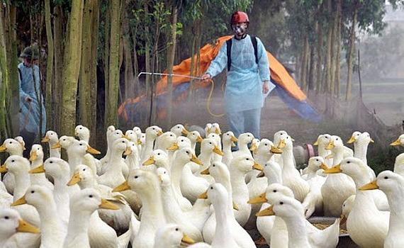 Tiêu hủy hơn 100 nghìn con gia cầm, 10 tỉnh thành đã bị dịch cúm