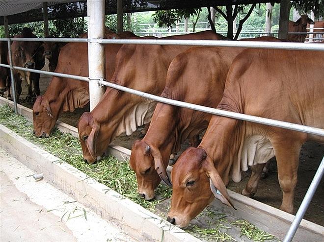 Hướng đi lâu dài của ngành chăn nuôi Hà Nội