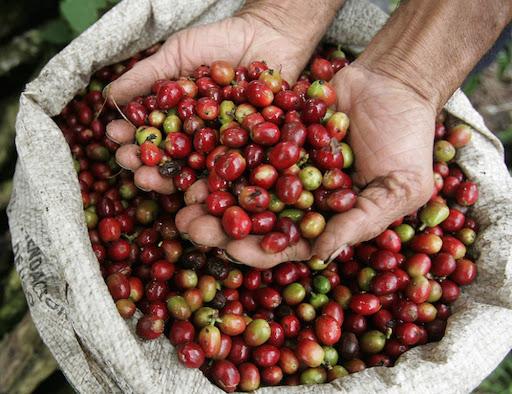 Giá cà phê hôm nay 20/2: Cà phê rớt dưới đáy
