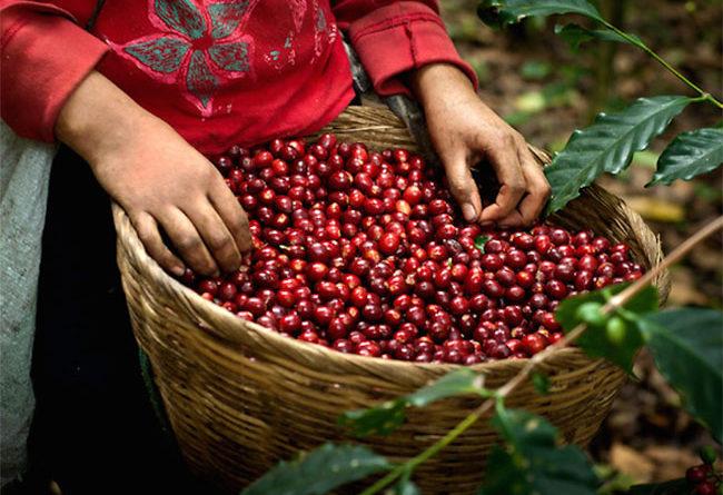 Giá cà phê hôm nay 13/2: Giảm nhẹ theo chiều của thế giới